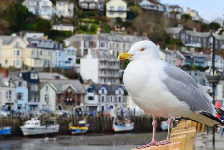 Looe-seagull